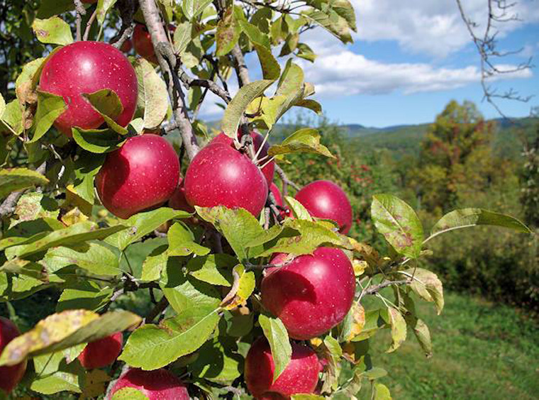Apples-U-Pick-NC-Apples